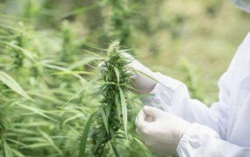 Le sud-africain Labat Africa envisage d'acquérir un nouvel actif dans l'industrie du cannabis